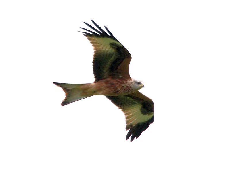 By Donald Macauley (Flickr: Red Kite) [CC-BY-SA-2.0 (http://creativecommons.org/licenses/by-sa/2.0)], via Wikimedia Commons