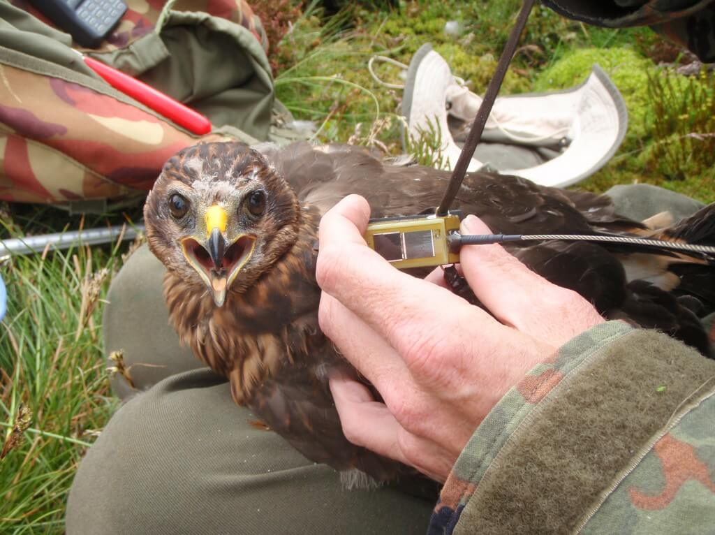 Bowland Betty being fitted with satellite tag.  Photo:RSPB