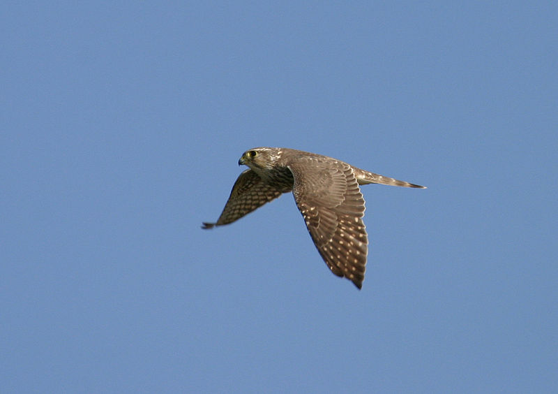 By U.S. Fish & Wildlife Service - Pacific Region's (Merlin) [CC-BY-2.0 (http://creativecommons.org/licenses/by/2.0)], via Wikimedia Commons