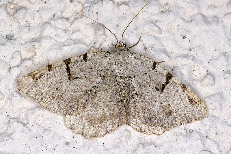 V-moth has declined by 99% since 1968. By picture taken by Olei  (Own work)[see page for license], via Wikimedia Commons