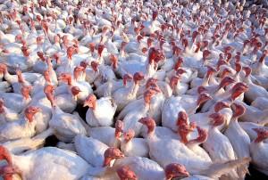 800px-Turkeys