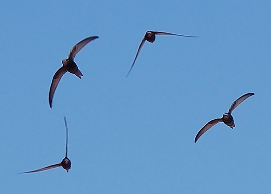 By Keta (Detail of Apus_apus_flock_flying.jpg) [CC-BY-SA-3.0 (http://creativecommons.org/licenses/by-sa/3.0)], via Wikimedia Commons