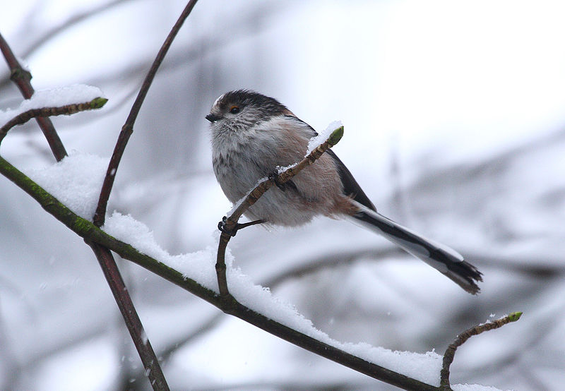 By David Friel from Telford, England (Long-tailed Tit #1) [CC-BY-2.0 (http://creativecommons.org/licenses/by/2.0)], via Wikimedia Commons