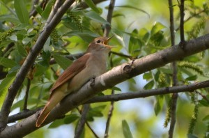 By Noel Reynolds (Common Nightingale (Luscinia megarhynchos)) [CC-BY-2.0 (http://creativecommons.org/licenses/by/2.0)], via Wikimedia Commons