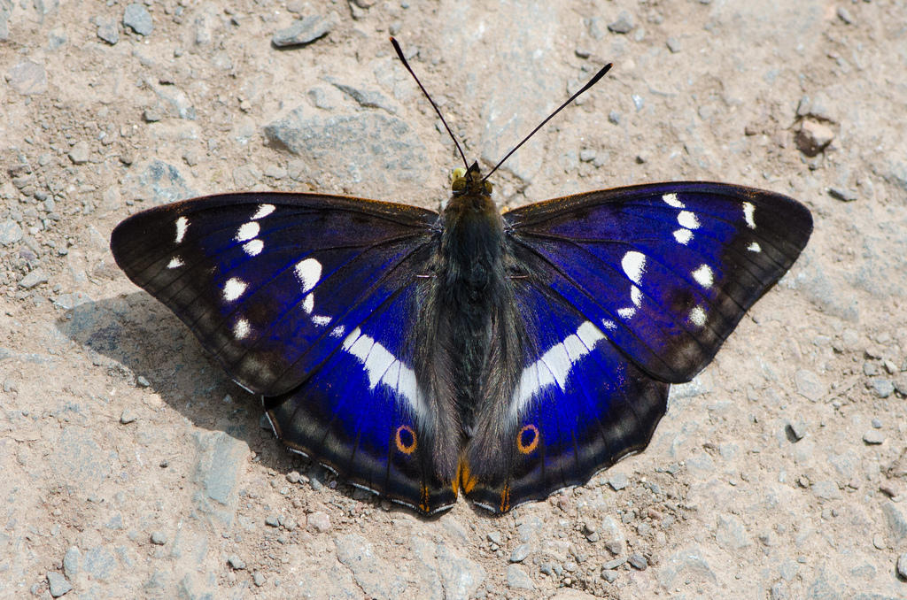 Purple emperor in Northants.  Photo: Tim Melling