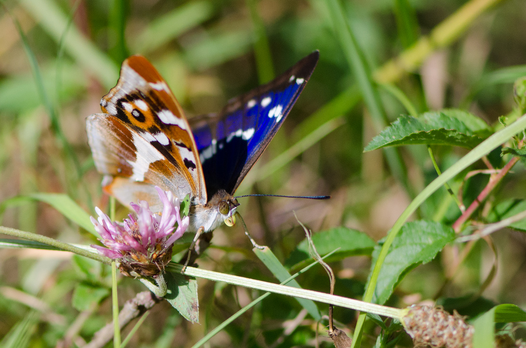 purple emperor in northants  Photo: Tim Melling