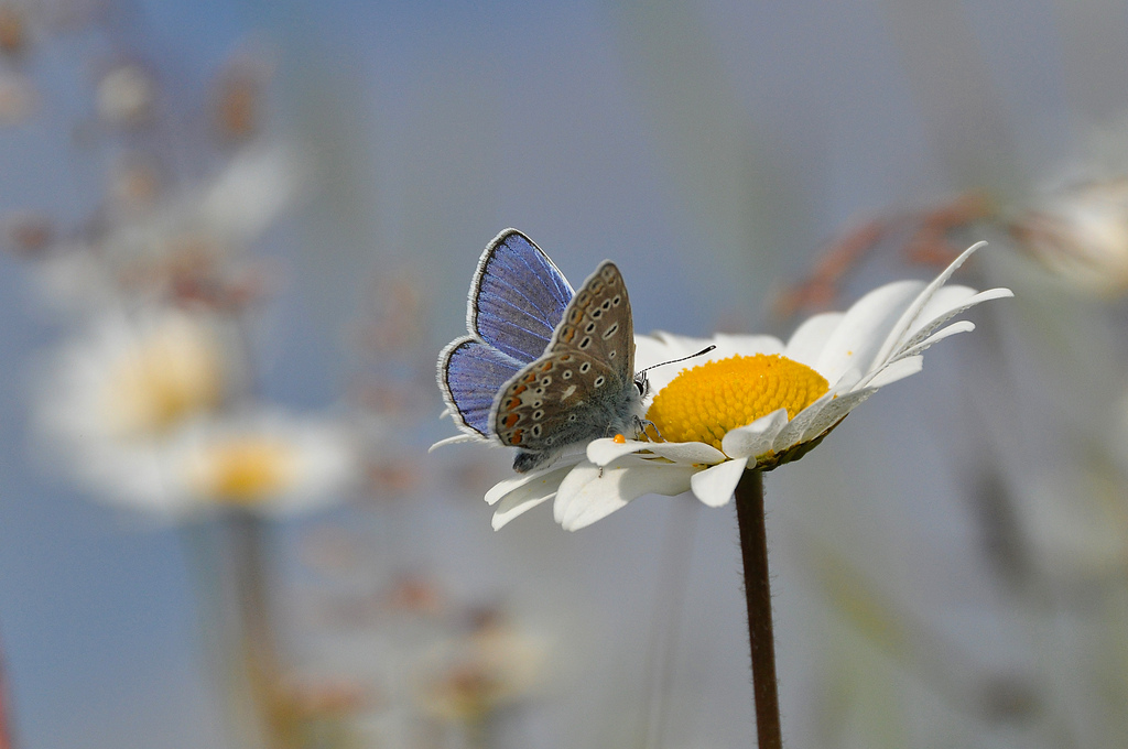 common blue.  Photo: Tim Melling