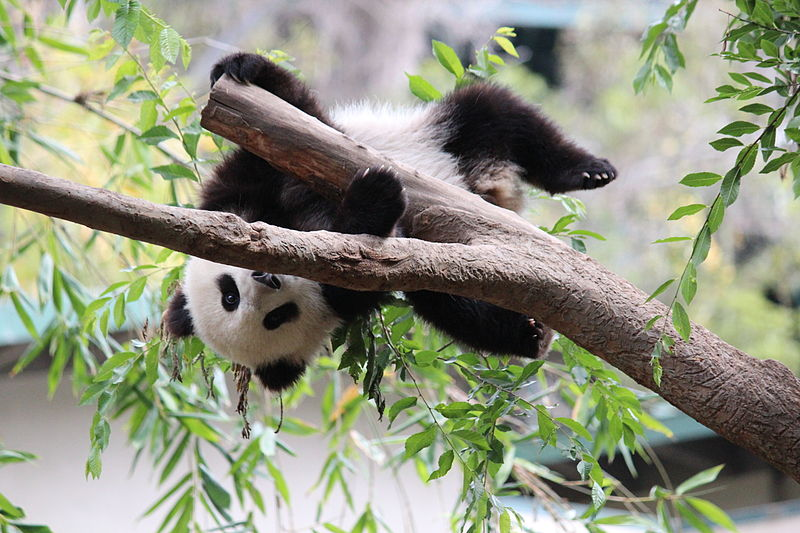 Giant Panda in San Diego Zoo. Photo: jballeis (http://creativecommons.org/licenses/by-sa/3.0)], via Wikimedia Commons