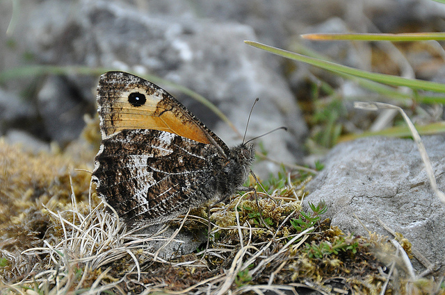 Grayling. Photo: Tim Melling