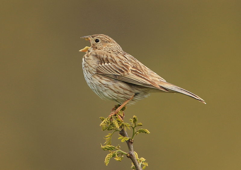 This Corn Bunting can't respond to a government consultation whereas the farmer whose land it inhabits can.  The Corn Bunting would asl you to speak up for him if he could.  Photo: Steve Riall  via Wikimedia Commons.