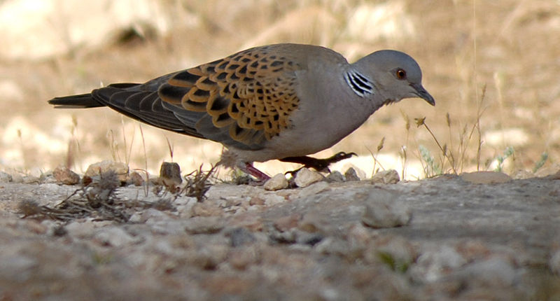 3)Turtle Dove : By Miguel González Novo from Melilla, Spain. (Paloma bastarda) [CC-BY-SA-2.0 (http://creativecommons.org/licenses/by-sa/2.0)], via Wikimedia Commons