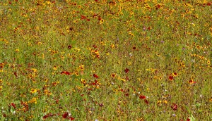 By Tony Hisgett from Birmingham, UK (Wetland Flower Meadow  Uploaded by tm) [CC-BY-2.0 (http://creativecommons.org/licenses/by/2.0)], via Wikimedia Commons