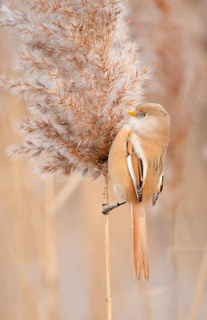 Bearded Tit. Photo: Oscar Dewhurst
