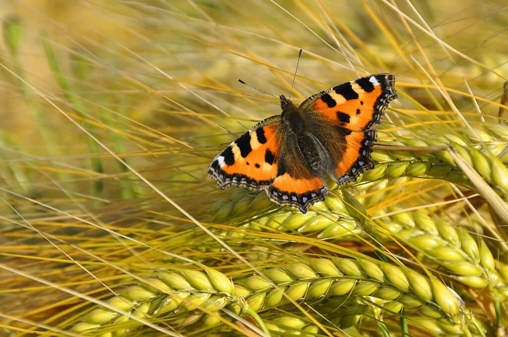 Small Tortoiseshell. Photo: Tim Melling