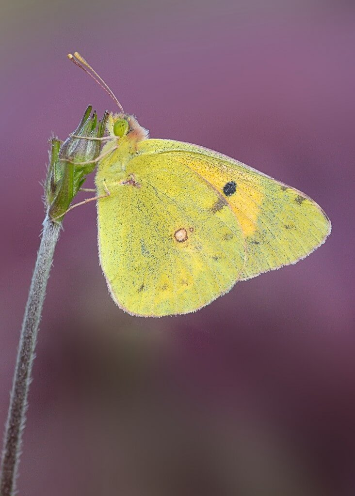 Clouded Yellow. Phto: Leigh Prevost, Butterfly Conservation