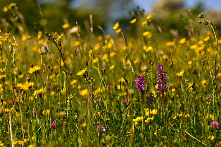 Eades Meadow, Worcestershire Wildlife Trust nature reserve. Photo: Paul Lane