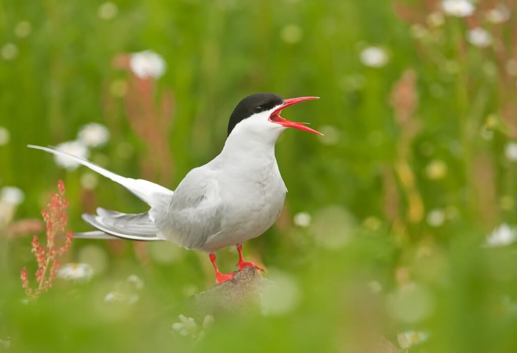 Scotland July 2013 - Arctic-Tern