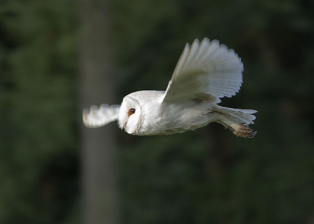 Photo: Edd Deane via wikimedia commons http://commons.wikimedia.org/wiki/Tyto_alba#mediaviewer/File:Barn_Owl_in_Norfolk.jpg