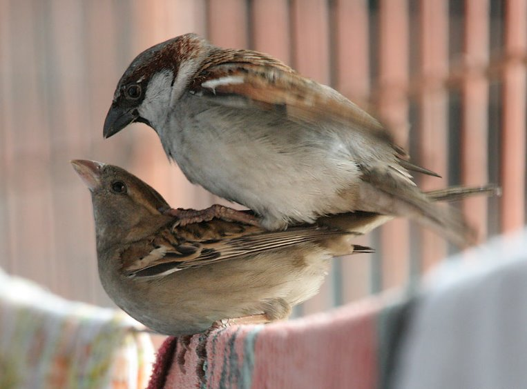 House Sparrows mating I IMG 0066CC BY-SA 3.0,  J.M.Garg - Own work via wikimedia commons