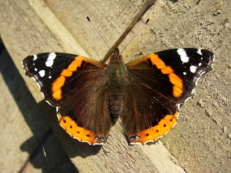 800px-Red_Admiral