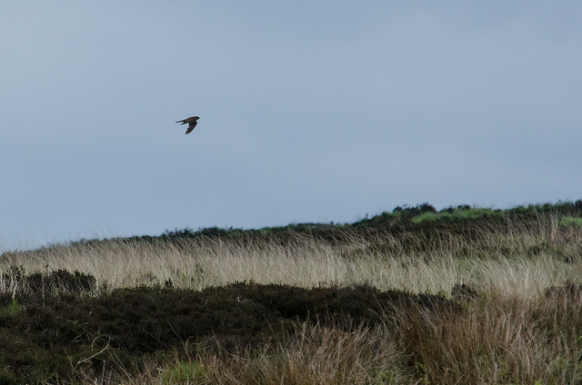 Merlin over the moors. Photo: Tim Melling