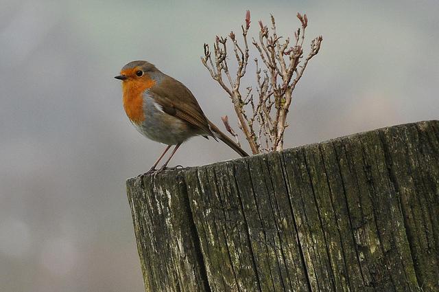 Robin, sitting pretty at No 1. Photo: Tim Melling