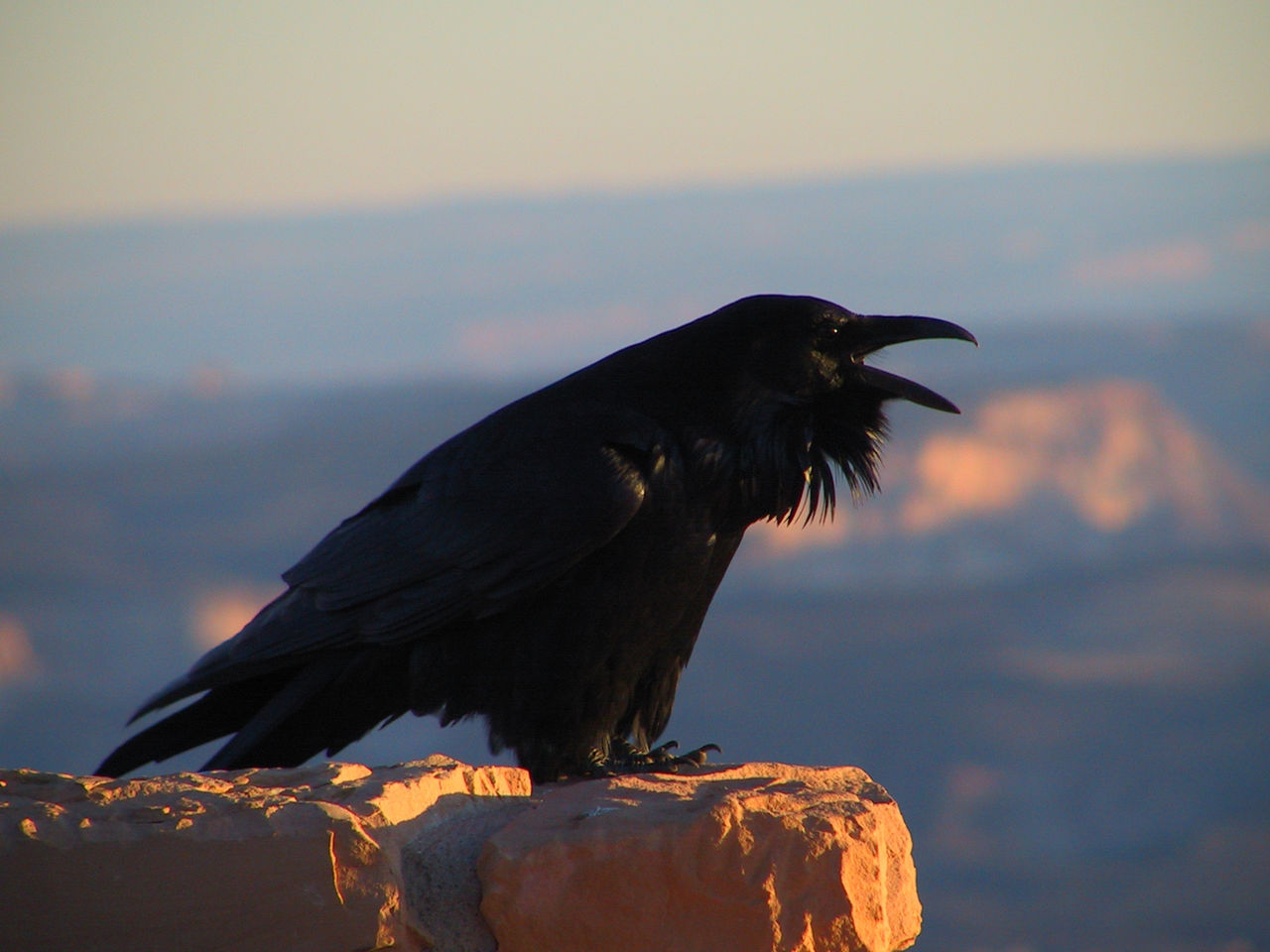 Raven in Bryce Canyon, Utah. Photo: US NPS via wikimedia commons