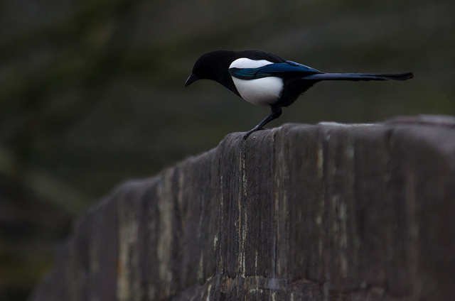 Magpie Photo: Tim Melling