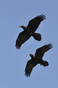 Ravens Photo: Tim Melling