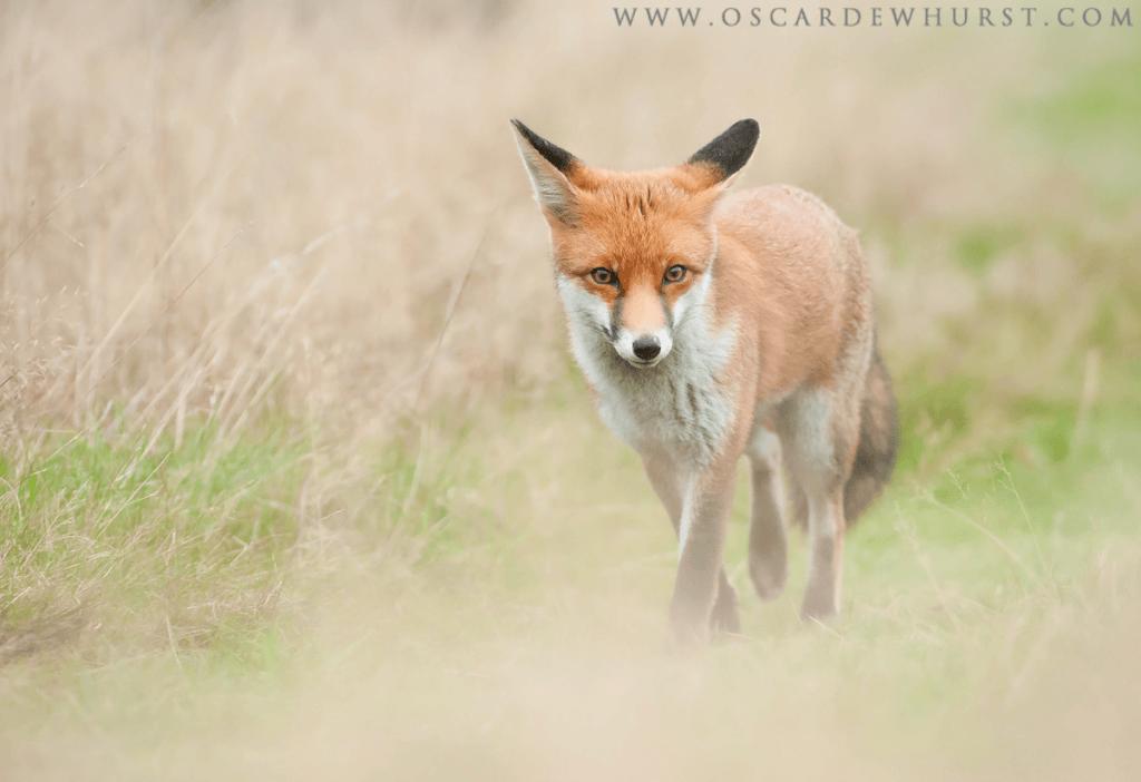RMSGC 28-10-12_0049-Red-Fox