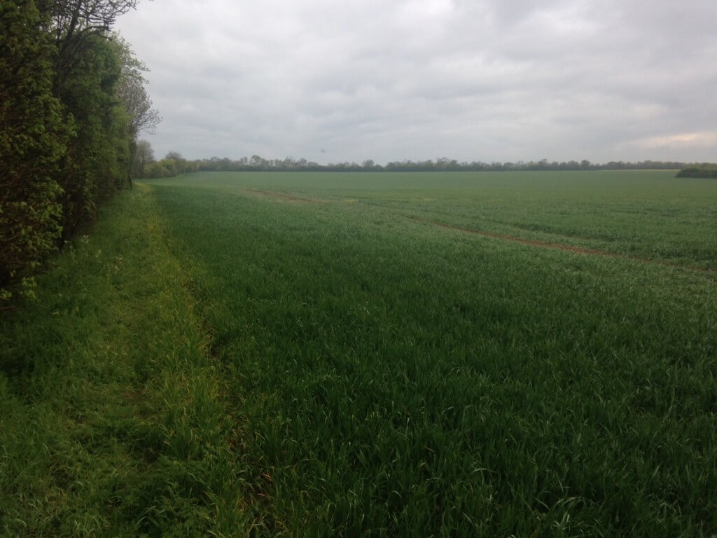 A large field of wheat