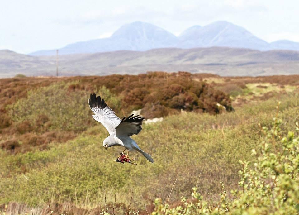 Photo: Gordon Yates. Hen Harrier on Skye (not a pigeon)