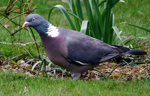 """""""Woodpigeoncloseup"""" by Nickfraser at the English language Wikipedia. Licensed under CC BY-SA 3.0 via Wikimedia Commons - https://commons.wikimedia.org/wiki/File:Woodpigeoncloseup.jpg#/media/File:Woodpigeoncloseup.jpg"""