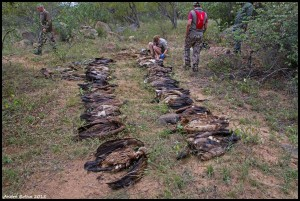 Photo: Andrea Botha. 66 vultures were poisoned in one  incident at Derby farm, Limpopo,  South Africa, 7 May 2015.