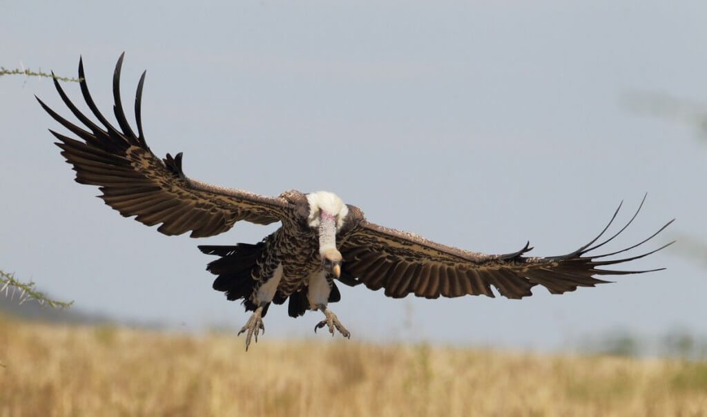 Photo: Ralph Buij. Rüppell's Vulture descending: studies in West and East Africa suggest that populations of Rüppell's Vulture are declining at a rate of about 97% over three generations (or 56 years).
