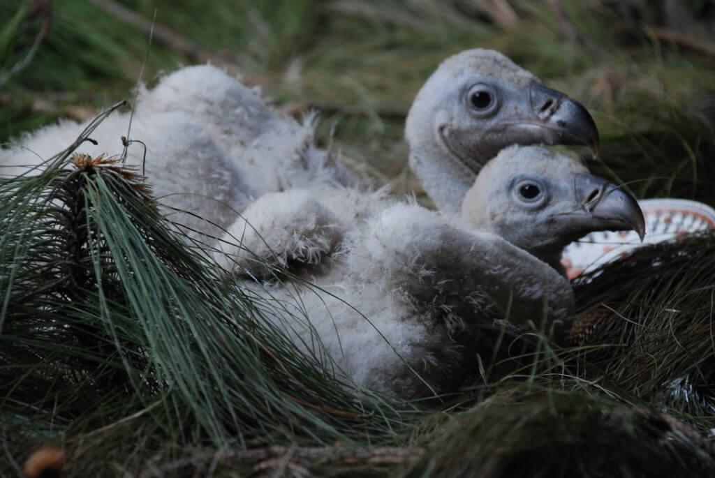 Photo: Chris Bowden. Long-billed Vulturechicks