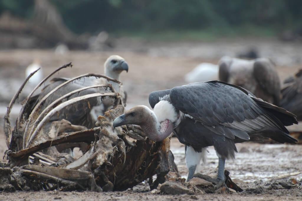 Photo@ Vibhu Prakash. Oriental White-backed Vulture