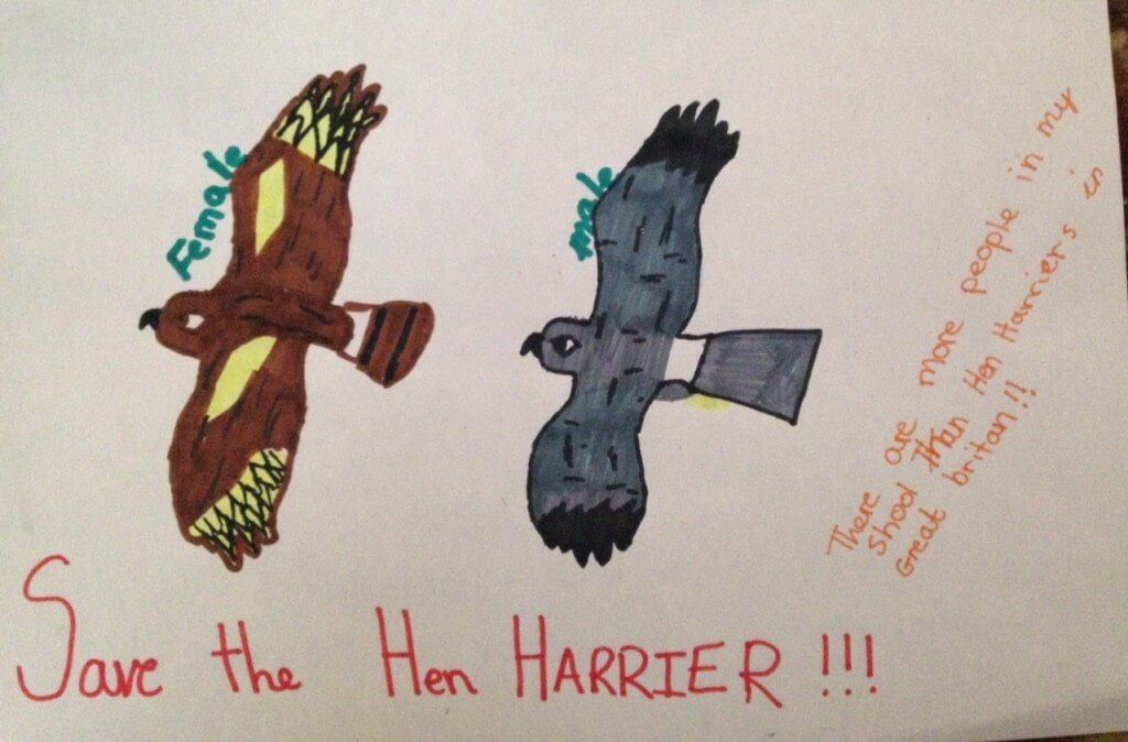 Hen Harrier by Abbie Harrison-Evans