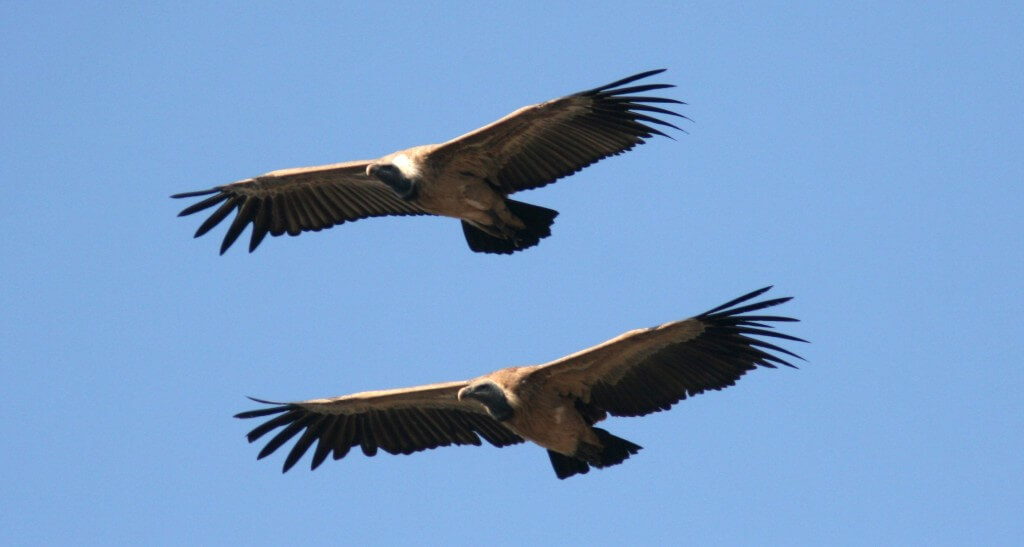 Photo: Mandy West. Long-billed Vultures