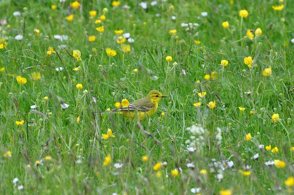 Yellow Wagtail Photo: Tim Melling