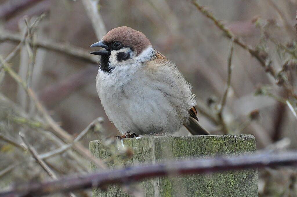 Tree Sparrow. Photo: Tim Melling