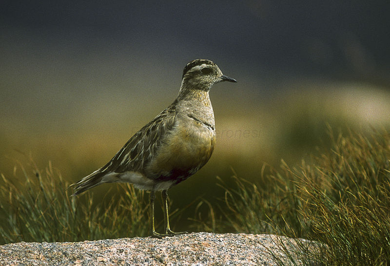 By Francesco Veronesi from Italy (Eurasian Dotterel - Pallas - Finland_88Image21) [CC BY-SA 2.0 (http://creativecommons.org/licenses/by-sa/2.0)], via Wikimedia Commons