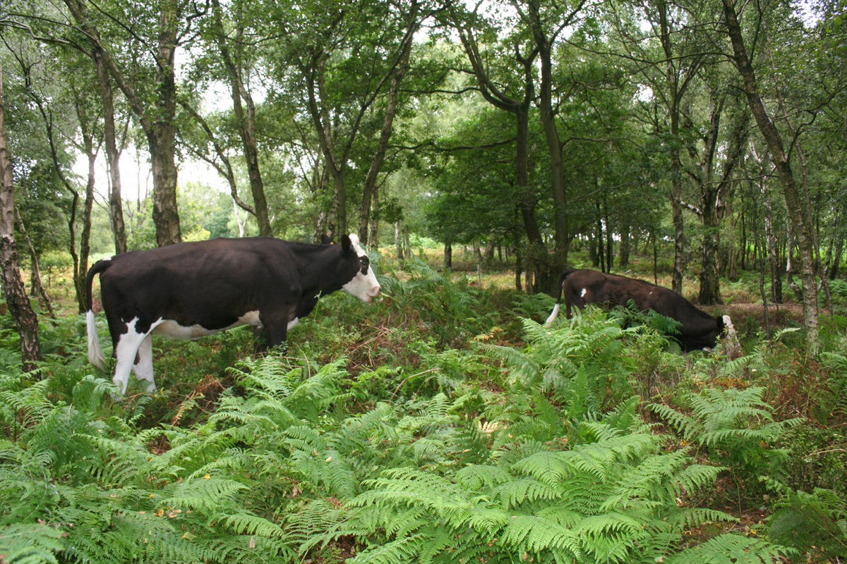 Not very natural - cows grazing in birch woods at Bickerton Hill by Espresso Addict https://commons.wikimedia.org/wiki/File:Bickerton_woods_cows.jpg?uselang=en-gb