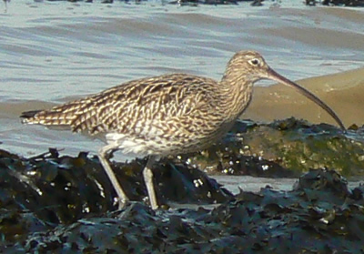 By Neil Phillips from uk (curlew) [CC BY 2.0 (http://creativecommons.org/licenses/by/2.0)], via Wikimedia Commons