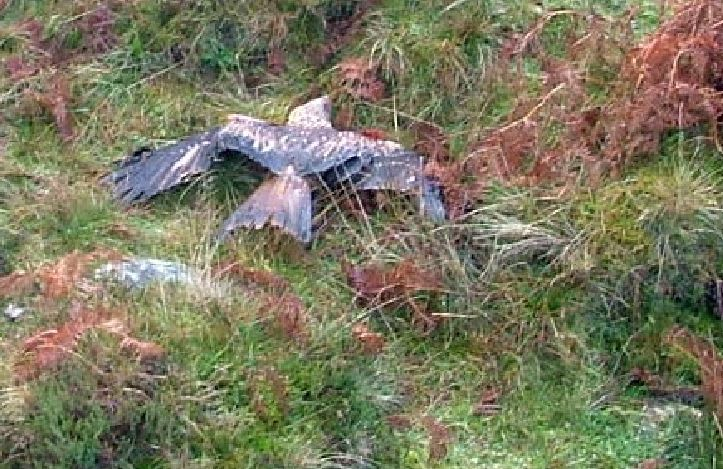 This kite was found dead on a grouse moor by a member of the public who was out dog walking. The kite was found to have been poisoned by Carbofuran, a poisoned banned in Britain since 2002.