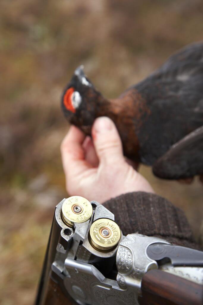Shotgun killed red grouse - Lagopus lagopus scoticus - Scotland.