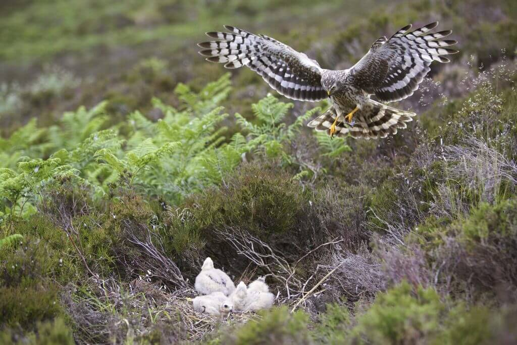 Hen Harrier - Circus cyaneus - female approaching nest with prey for chicks. Sutherland, Scotland. July 2006.