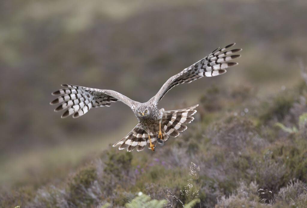 Hen harrier (Circus cyaneus) adult female bringing in prey to nest (shrew), Sutherland, Scotland