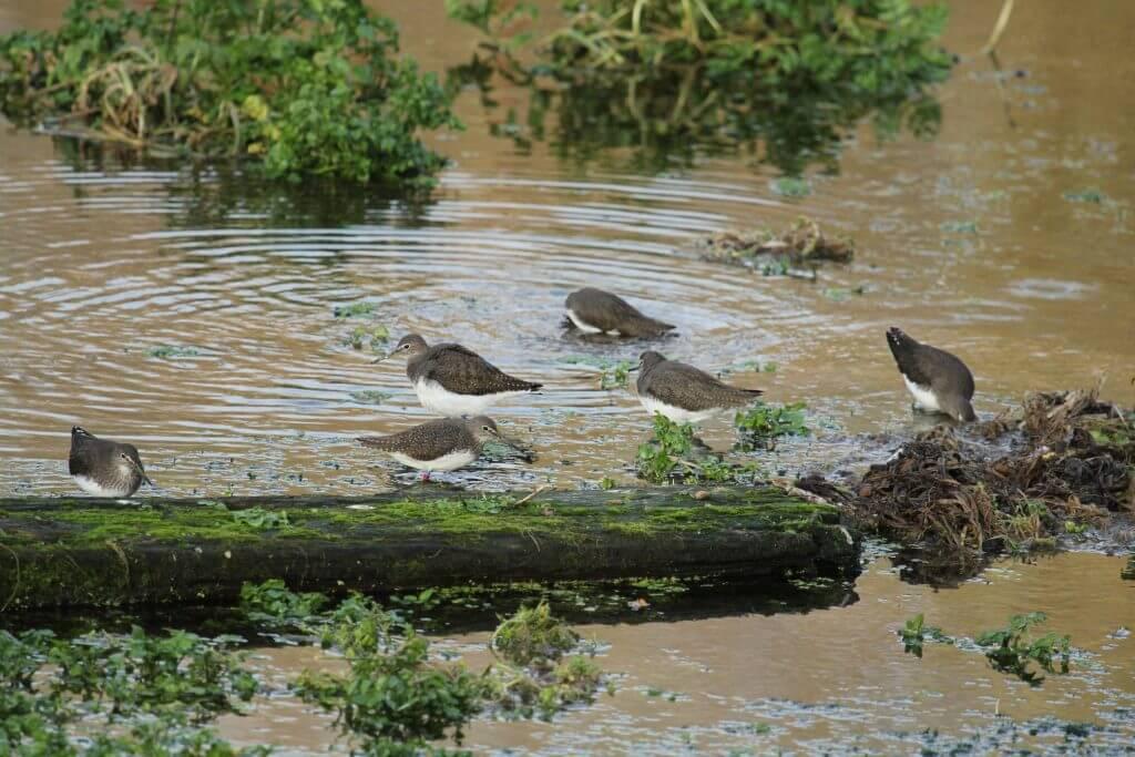 Green Sandpipers, Lemsford Springs. Photo: Paul Thrush/Herts & Middx Wildlife Trust
