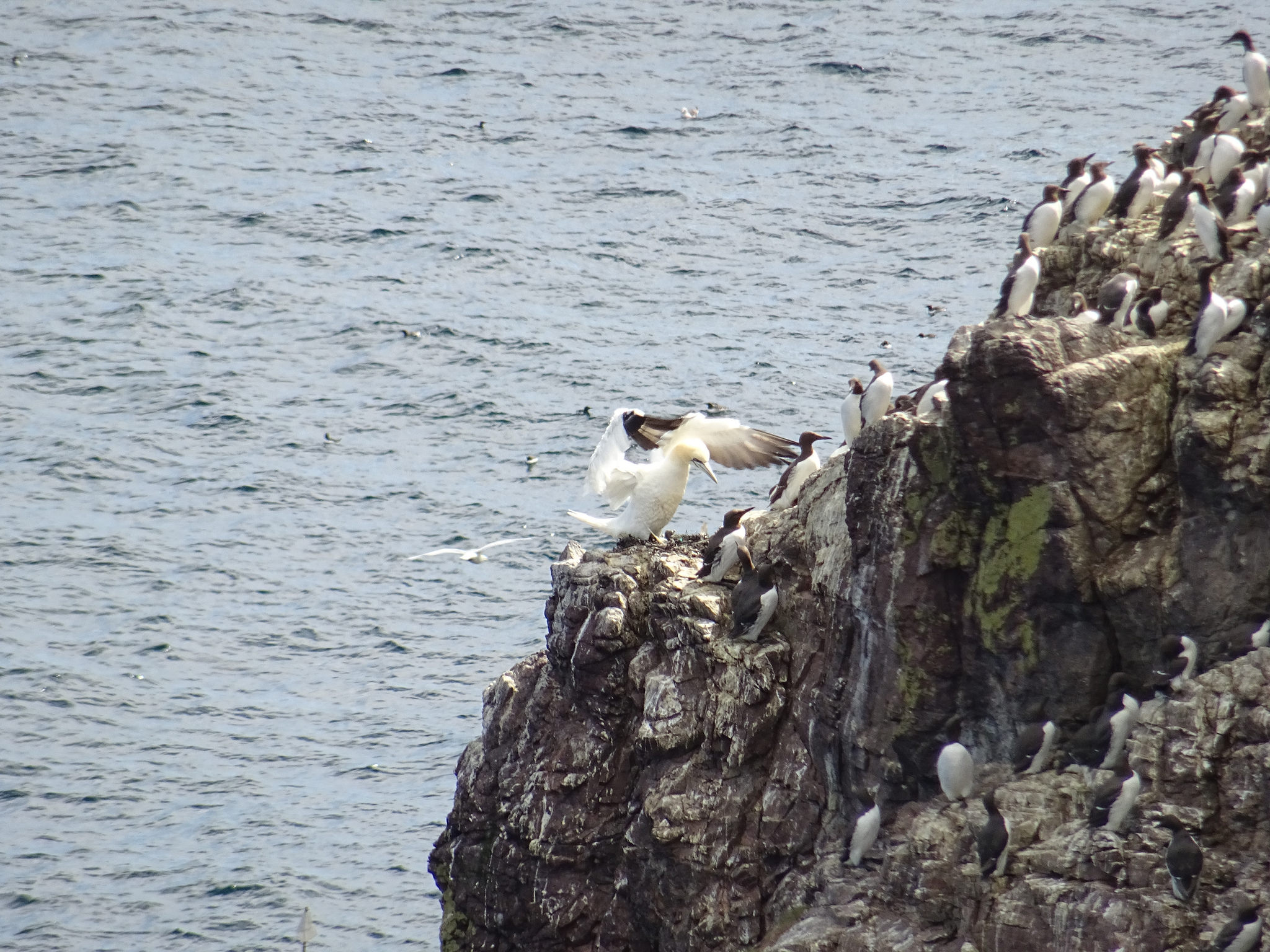 Good News First Gannet Chick Hatched At St Abbs - Mark Avery-1232